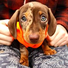 Meet George A 10 Week Old Mini Dachshund Dogpictures Dogs Aww
