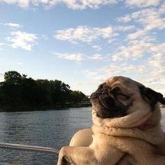 Majestic pug killing it at life. (via http://instagram.com/p/t5u1yXlHps/)