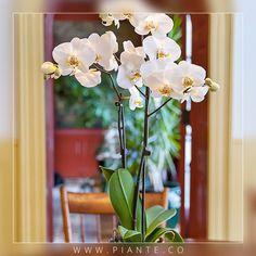 #Piante Regalar #Orquídeas blancas es la mejor opción para expresar un amor puro, inocente y duradero ante la persona amada. #RegalaVida #RegalaPiante - http://piante.co/ - #Flores #Premium #Decoración #IdeasDeRegalos #Colombia #OrquídeasDeColombia #ColombianOrchids #Regalos #Regaloscorporativos