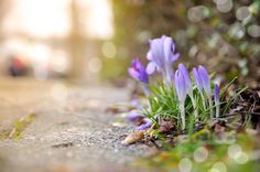 Pavement Crocus Today marks the beginning of the meteorological Spring! The advent of Springtime. The early Crocus flowers already show their beauty beside the road. (c)2015-today Martijn van der Nat. #pixel_ig #landscape_hunter #landscape_lovers #landscapecaptures #landscapestyles_gf #landscape_specialist #landscapeporn #getlost #landscapephotomag #ig_landscape #trapping_tones #ig_masterpiece #ig_podium #splendid_earth #gramslayers #agameoftones #optoutside #discoverearth #exploretheglobe…