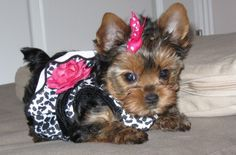 Yorkshire Terrier - For Sale 1