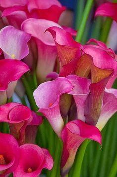 Fuchsia Mini Calla Lilies <3