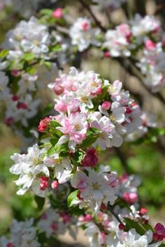 Apple Tree Blossoms, Peach Blossoms, Cherry Blossom, Pink Garden, Colorful Garden, Trees And Shrubs, Flowering Trees, Real Flowers, Beautiful Flowers