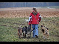 Gassi gehen- WOW... vier Schäferhunde frei bei fuss!!!