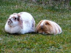 Bunny and her guinea pig friend relax together in the garden - June 10, 2013