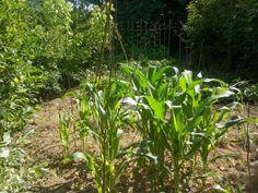 Corn not yet as high as an elephants eye.