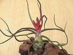 tillandsia butzii flowers - Google Search