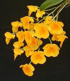 Dendrobium lindleyi orchidées graines