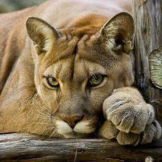 Beautiful Cougar (aka Mountain Lion, Puma, Panther, etc) Crazy Cat Lady, Crazy Cats, Big Cats, Cats And Kittens, Beautiful Cats, Animals Beautiful, Beautiful Pictures, Animals And Pets, Cute Animals
