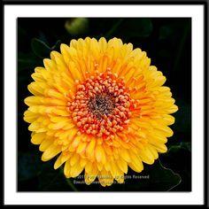Yellowstone Gerbera Daisy © 2011 Patty Hankins A very bold bright yellow Gerbera Daisy Flower Images, Flower Pictures, Beautiful Flowers Pictures, Gerber Daisies, Daisy, Floral, Plants, Bright Yellow, Ink