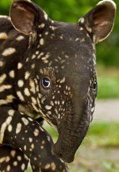 Although tapirs are often mistaken for pigs and anteaters, they're in the odd-toed hooved animal family  as are the horse and rinocerous. All four species of tapir are endangered. The Malay tapir  is native to Asia, where its natural enemies are the tiger and man. The largest tapir, the Malay tapir weighs up to 800 pounds. It also has the most dramatic coloration, with black shoulders, head, and legs and a white band around the body.