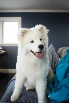 Photograph Samoyed on the couch by Jean-Michel Dupuis on 500px
