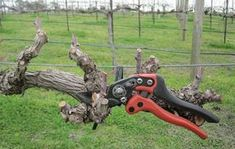Szőlőmetszéskor erre  is figyelj! Pruning Shears, Garden Tools, Gardening, Gardening Scissors, Yard Tools, Lawn And Garden, Horticulture