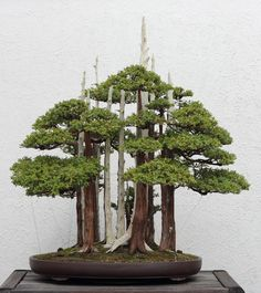 John Naka's famous bonsai masterpiece Goshin, on display at the National Bonsai & Penjing Museum of the National Arboretum in Washington, DC. It consists of 11 Foemina juniper trees (Juniperus chinensis 'Foemina'), representing Naka's 11 grandchildren.