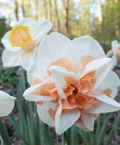 """Double Narcissus Delnashaugh--Later-flowering Delnashaugh has a 4"""" creamy-white perianth adorned with short, frilled, apricot-pink cup segments. As with all pink narcissi, they benefit from being planted in an a spot with partial sunlight so that they may develop their best pink coloration."""