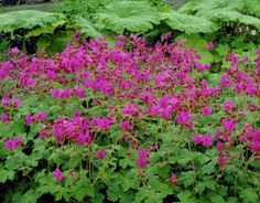 Geranium macrorrhizum Bevan's Variety - Bigroot Geranium - The Bigroots grow in the shade and are not affected by bad weather like lack of water or extreme heat, either way its pink flowers will continue to bloom. Geranium Macrorrhizum, Cranesbill Geranium, Perennial Ground Cover, Ground Cover Plants, Edging Plants, Garden Plants, Garden Web, Balcony Garden, Landscaping Plants