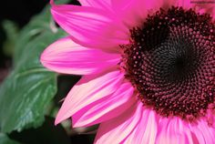 pink sunflowers pictures | Pink sunflower. photo pink.jpg