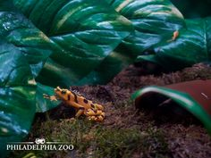 """Male Panamanian golden frogs can be seen waving their hands to each other, literally saying """"stop, don't get any closer, this is my place"""". This moment was captured by Camera Club member Michael Jennings."""