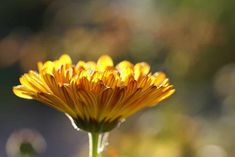 How to make hand salve with calendula. Here is a very easy recipe so you can make your own natural hand salve with herbs and essential oils. Home Remedies, Natural Remedies, Herbal Remedies, Irregular Periods, Calendula Oil, Bacterial Vaginosis, Name Pictures, Salud Natural, Flower Names