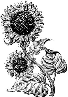.sunflower.