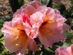 Rhododendron-- Foto verkleinen [Z. 02-24 Saltarello x Malaga a 010602.jpg - 1676kB]
