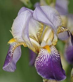 My Grandma's irises, now happy in my garden
