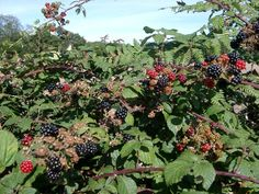 Brambles in the hedgerows