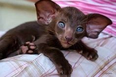 """* * """" Me be notz sure - it hads somethin' to do with recumbant DNA and a fruit… dobby cat = life Pretty Cats, Beautiful Cats, Animals Beautiful, Cute Funny Animals, Cute Baby Animals, Animals And Pets, Kittens Cutest, Cats And Kittens, Baby Kittens"""