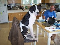 A #great #dane sitting on a chair using a laptop.