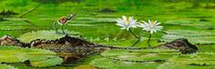 Young Jacana, Water Lilies and Croc, James Field on ArtStation at https://www.artstation.com/artwork/ZObl8