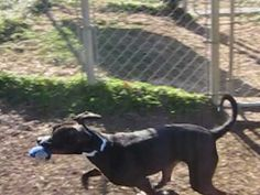 BEDFORD, IN - ANN is  a American Pit Bull Terrier for adoption  who needs a loving home.
