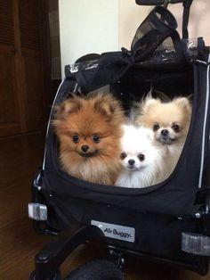 Cuties in their stroller.