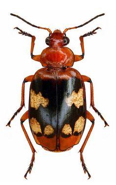 Lebia (Chelonodema) thomsoni