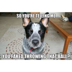 thats what my heelers do all the time XD XD