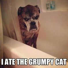 Boxer ate the grumpy cat :-)