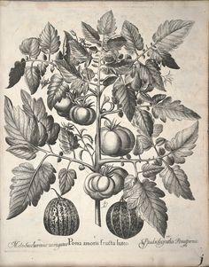 Hortus Eystettensis by Basilius Besler, 1561-1629 - Biodiversity Heritage Library