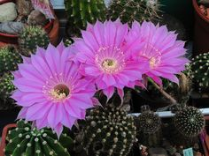 "Echinopsis Hybr. ""Sterntaler"""