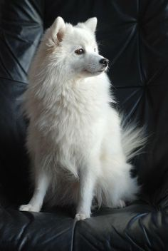 Tear stains appear in certain breeds and they can indicate a lot of different things. Tear stains appear in certain breeds and they can indicate a lot of different things. Miniature American Eskimo, American Eskimo Puppy, Beautiful Dogs, Animals Beautiful, Cute Puppies, Dogs And Puppies, Cute White Puppies, Japanese Spitz Dog, Animals And Pets