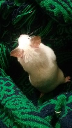 I love her ears! Cute Hamsters, Gerbil, Fluffy Animals, Rodents, Derp, Cuddle, Amor