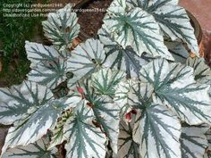 View picture of Cane Begonia, Angel Wing Begonia 'Looking Glass' (Begonia) at Dave's Garden.  All pictures are contributed by our community.