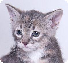 Chicago, IL - Domestic Shorthair. Meet Spring, a kitten for adoption. http://www.adoptapet.com/pet/16063945-chicago-illinois-kitten