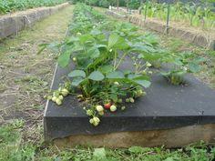 Un agricultor foarte talentat... Mi-a placut metoda sa - Pentru Ea Vegetable Garden Design, Pergola Patio, Garden Spaces, Growing Vegetables, Hydroponics, Herb Garden, Koi, Berries, Plants