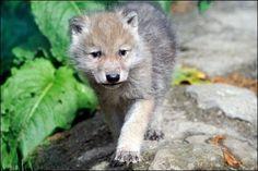Siberian Wolf Cub