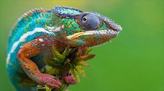 COMMUNICATIONS IN COLOUR CORRECTLY CONSIDERED AS CHAMELEONS CANDIDLY CAMOUFLAGE COLOURS IN COLOURS IN COMMUNICATIVE CANDOURS hameleons don't change their color to blend in to their surroundings. They change their color to communicate.
