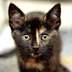 Kitten with a touch of marble  photogenicfelines:    (Josh Norem)
