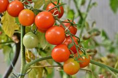 Tomato Benefits, Health Benefits Of Tomatoes, Easy Vegetables To Grow, Planting Vegetables, Nutritional Value Of Tomatoes, Vegetable Bed, Starting Seeds Indoors, Small Tomatoes, Herbs