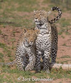 1-2017 This is female Karula with her male cub Hosana. She was leading him to a fress kill that she has made the previous night - Sabi Sand by Jors Dannhauser