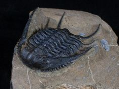 This is a rarely seen Lower Ordovician trilobite from Morocco, Chlustinia keyserlingi. I've only ever seen a handful of specimens of this species for sale and they were all smaller and most clearly had significant amount of restoration. It's 2.3 inches in length and very 3D for Ordovician trilobites from this location.