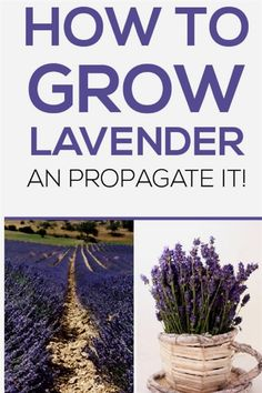 Lavender bushes bring such personality and beauty to any landscape, with their pastel blossoms and lovely perfume like scent, you… Read more »  #GardeningTips