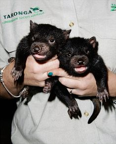 Yes, they're real and not just Bugs Bunny's arch-nemesis: Tasmanian Devil joeys are seen at Taronga Zoo in Sydney, Australia